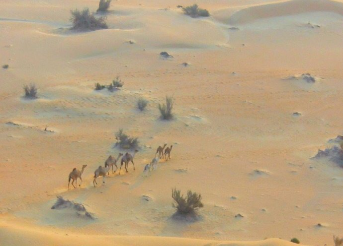 camels in the dubai desert