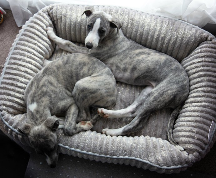Bo and Arrow the whippet puppies
